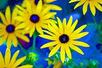 Black-Eyed Susan Flowers Bright
