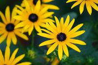 Black-Eyed Susan Flowers in Garden