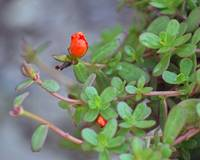 Purslane Scarlet Flower