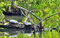Turtles Stretching, Kingfisher Watching