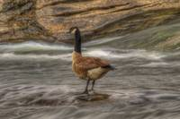 Canada Goose in HDR