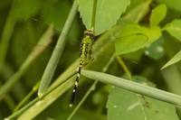 Common Pondhawk (Erythemis simplicicollis) Female