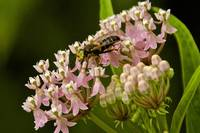 Solitary bee/hornet on Swamp Milkweed