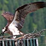 """Osprey feeding young"" by SamSherman"