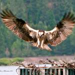 """Osprey Landing wings spread"" by SamSherman"