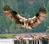 Osprey Landing wings spread