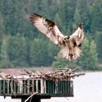 """Osprey Landing"" by SamSherman"