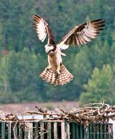 Osprey landing wings back