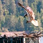 """Osprey Landing with Fish to Feed Young"" by SamSherman"