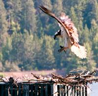 Osprey Landing with Fish to Feed Young