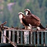"""Osprey Couple"" by SamSherman"