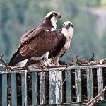 """Osprey Parents"" by SamSherman"