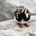 """Ruddy Turnstone"" by WildAboutNaturePhotography"