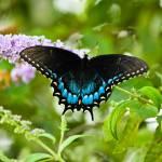 """""""Tiger Swallowtail"""" by julieandel"""