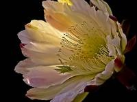 Night Blooming Cereus  Macro