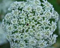 Queen Anne's Lace Maturing
