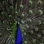 """Peacock II 7200px Commercial"" by SouthIdahoPhoto"