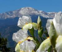 White irises and pikes peak