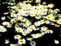 Glowing daisies