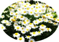 soft daisies oval