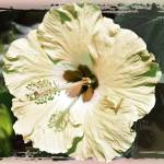 """Pale Yellow Hibiscus"" by GiorgettaMcRee"