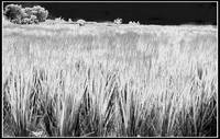 b&w_grass_bordered