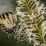 """Swallowtail Butterfly II"" by jmay_71"