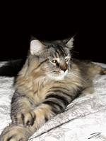 Maine Coon Portrait of Annie Lulu