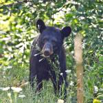 """Black Bear"" by WildAboutNaturePhotography"