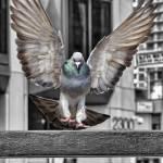 """""""Pigeon landing"""" by Kal-El2112"""