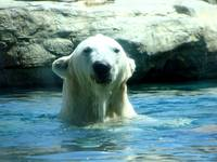 Surfacing Polar Bear