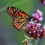 """Butterfly Monarch  Lepidoptera"" by KsWorldArt"