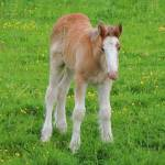 """Foal Shire Horse"" by JMcCoubreyPhotography"