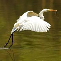 """Great Egret with Fish"" by shelshots"