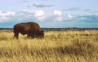 Buffalo on the Prairie