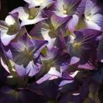 """Hicksville Hydrangeas"" by ChristinaVerdi"