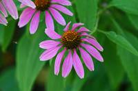Purple Coneflower  Echinecea