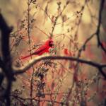 """Deep Red Cardinal"" by ProdigyPhotography"