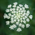 """Queen Anne Lace"" by StonePhotos"
