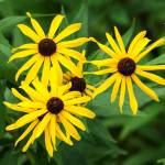 """Black Eyed Susan"" by StonePhotos"