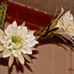 """Double Night Blooming Cereus"" by Attentiongetters"