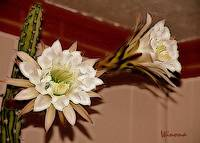 Double Night Blooming Cereus
