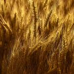"""Grains of Gold"" by Dullinger"