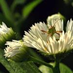 """Bug on Daisey Fleabane"" by bavosiphotoart"