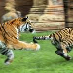 """Chasing Tigers"" by garethmthomas"