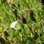 """Cabbage White Butterfly on Lavender"" by twostarphotography"
