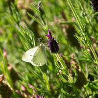 Cabbage White Butterfly on Lavender