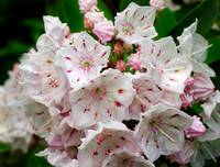 Mountain Laurel Magic