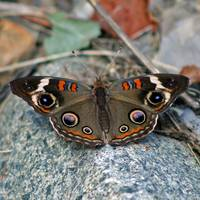 Buckeye Butterfly on the Rocks Square format