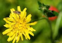 Chinch Bug on a Dandelion Flower